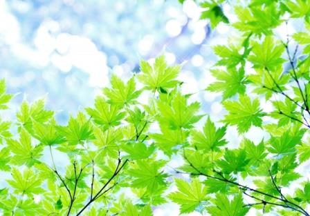 綾瀬市の木 やまもみじ